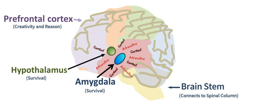 Brain, with frontal lobe, amygdala, hypothalamus & brain stem labeled